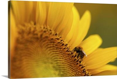 Italy, Friuli Venezia Giulia, bee on a sunflower