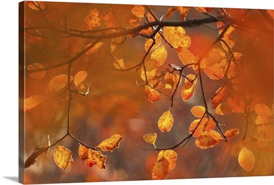 Italy, Friuli Venezia Giulia, beech leafs in autumn Wall Art, Canvas ...