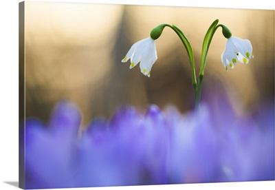Italy, Friuli Venezia Giulia, Leucojum vernum (Spring snowflake)