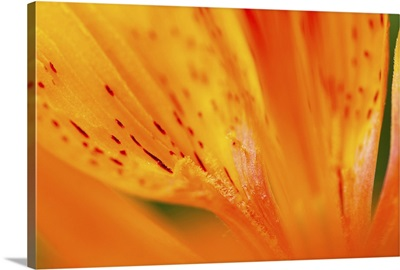 Italy, Friuli Venezia Giulia, Lilium bulbiferum or Orange Lily