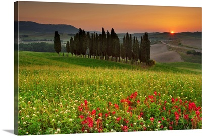 Italy, Tuscany, Orcia Valley, Cypress on the hill near San Quirico d'Orcia