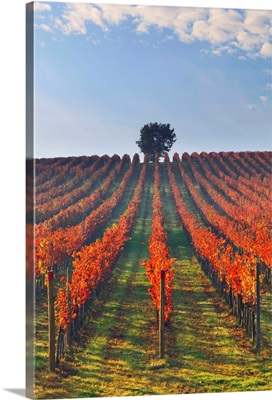Italy, Umbria, Perugia district, Autumnal Vineyards near Montefalco