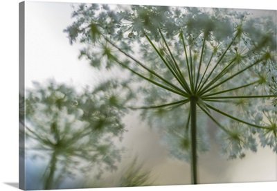 Italy, Veneto, A detail of Carum carvi (meridian fennel)