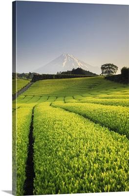 Japan, Shizuoka Prefecture, Mt Fuji and Green Tea Plantations