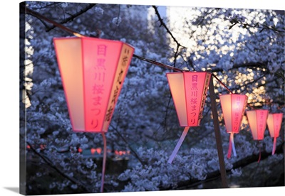 Japan, Tokyo, Cherry Trees in full bloom along Meguro River