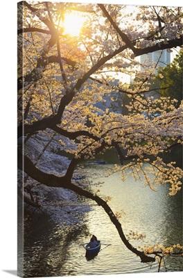 Japan, Tokyo, Chidorigafuchi Park, Cherry Trees near the Imperial Palace moat