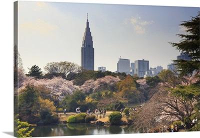 Japan, Tokyo, Shinjuku Gyoen National Garden, Cherry Trees in full bloom