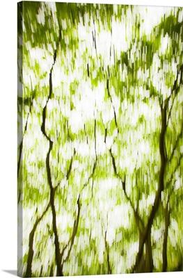 Japanese Maple (Acer) tree in Springtime, England, UK