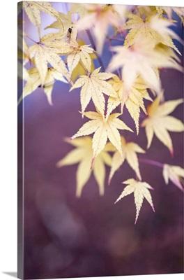 Japanese Maple Tree In Autumn, Yamanashi Prefecture, Japan