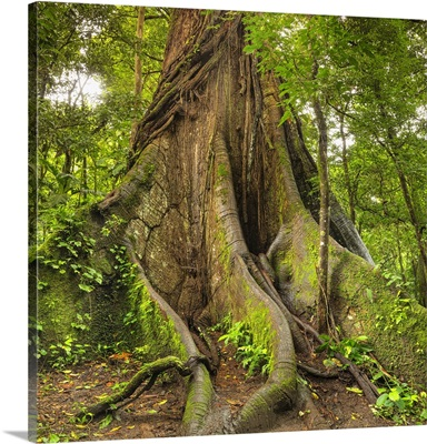 Kapok Tree, Central Highlands, Arenal National Park, La Fortuna, Costa Rica