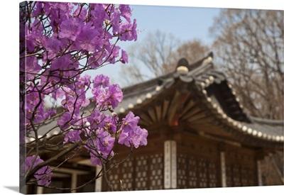 Korea, Seoul, Changdeokgung Palace, Cherry blossom