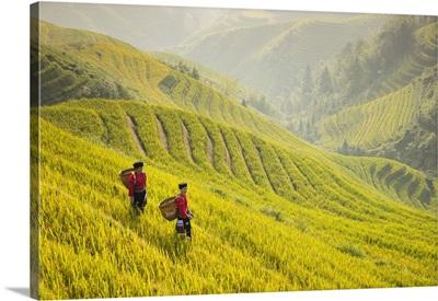 Ladies Of The Yao Minority In The Field, Longji Rice Terraces, Guangxi Province, China