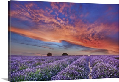 Lavender Field And Burning Clouds, France, Forcalquier, Valensole, Provence