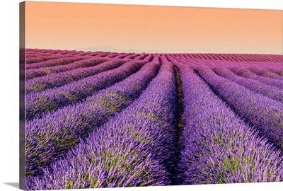 Lavender field at sunset, Plateau de Valensole, Provence, France