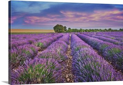 Lavender Field, France, Alpes De Haute Provence, Forcalquier, Provence