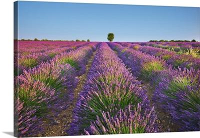 Lavender Field, France, Alpes De Haute Provence, Forcalquier, Valensole, Saint Jurs