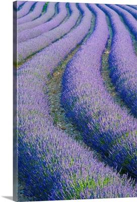 Lavender Field near Valensole, Provence-Alpes-Cote d'Azur, France