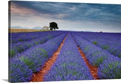 Lavender Field, Valensole Plain, Alpes-De-Haute-Provence, France