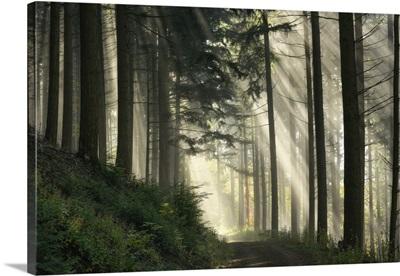 Light Flooded Spruce Forest, Black Forest National Park, Baden-Wuerttemberg, Germany