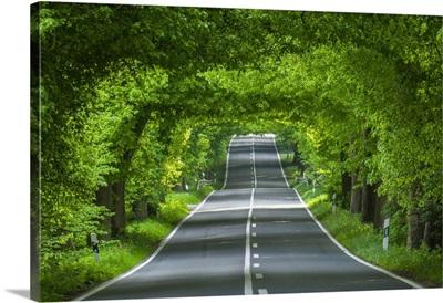 Lime Tree Avenue, Ruegen Island, Baltic Sea, Mecklenburg-Western Pomerania, Germany