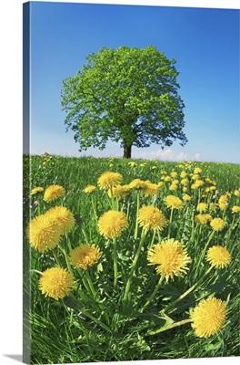Lime Tree With Dandelions, Germany, Bavaria, Miesbach, Holzkirchen, Osterwarngau