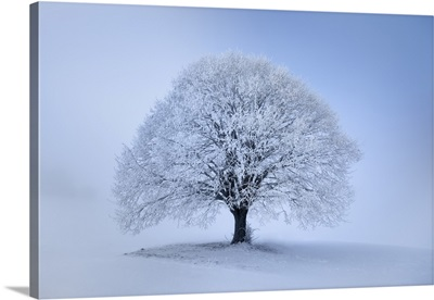 Lime Tree With Hoar Frost In Winter, Germany, Bavaria, Miesbach, Irschenberg