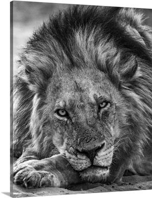 Lion, Chobe River, Chobe National Park, Botswana