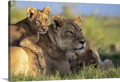 Lion Cub Lying On Its Mother, Okavango Delta, Botswana