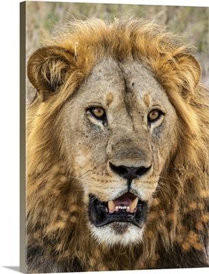 Lion (Panthera Leo), Male, Savuti, Chobe National Park, Botswana, Africa