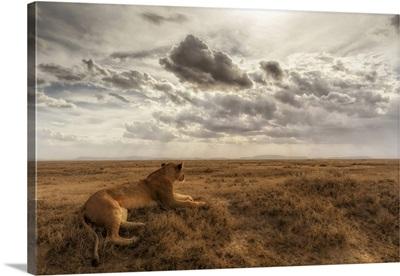 Lioness Resting In The Serengeti Plains, Tanzania