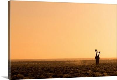 Lonely Giraffes in Etosha, Namibia, Africa in Etosha, Namibia, Africa