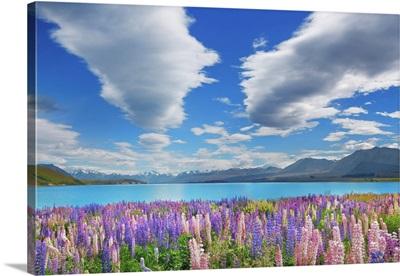 Lupine Meadow At Lake Tekapo, New Zealand, South Island, Canterbury, Mackenzie