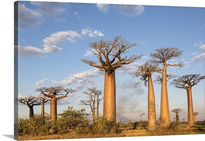 Madagascar, Morondava, Baobabs at sundown
