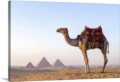 Man And His Camel At The Pyramids Of Giza, Giza, Cairo, Egypt