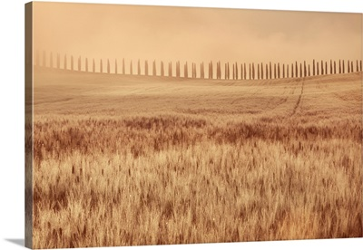 Mediterranean Cypress Alley In Fog, Italy, Tuscany, Siena, Val d'Orcia