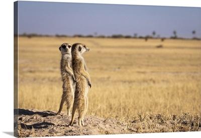 Meerkats, Makgadikgadi Salt Pans, Botswana