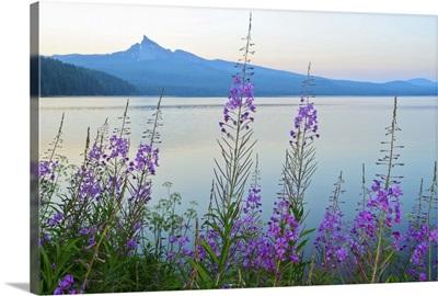 Mount Thielson, Fireweed, Epilobium angustifolium, Diamond Lake, Douglas County, Oregon