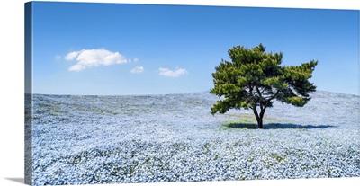 Nemophila menziesii flowers in spring blooming at the Hitachi Seaside Park, Japan