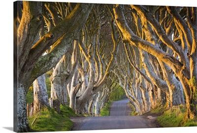 Northern Ireland, County Antrim, Stranocum, The Dark Hedges