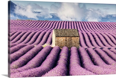 Old stone barn surrounded by rows of lavender on Valensole plateau