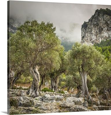 Olive trees, Serra de Tramuntana, Mallorca (Majorca), Balearic Islands, Spain