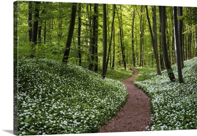 Path Through Beech Forest With Blooming Wild Garlic, Hainich National Park, Germany