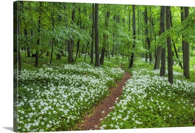 Path Through Forest, Blooming Wild Garlic, Hainich National Park, Thuringia, Germany