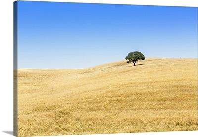 Portugal, Alentejo, a solitary cork oak tree in a wheat field in the central Alentejo