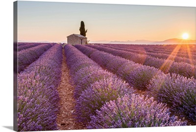 Provence, Valensole Plateau, France, farmhouse and cypress tree in a Lavender field