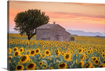 Provence, Valensole Plateau, France, Lonely farmhouse in a field full of sunflowers