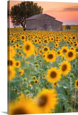 Provence, Valensole Plateau, France,. Lonely farmhouse in a field full of sunflowers