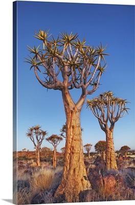 Quiver Tree (Kokerboom), Namibia, Karas, Keetmanshoop, Quivertree Forest, Namib