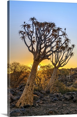 Quiver Tree Or Aloidendron Dichotomum, Quiver Tree Forest, Keetmanshoop, Karas, Namibia
