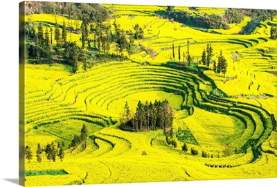 Rapeseed farms in Niujie, Luoping, Yunnan, China